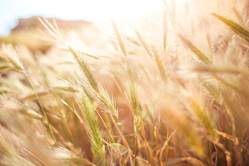 Wheat Field in Sun Close Up (picjumbo)