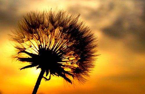 Dandelion (pixabay/AdinaVoicu)